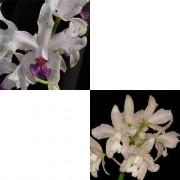Orquídea Cattleya amethystoglossa (coerulea x albescens)
