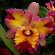 Orquídea Cattleya Bc Hawaiian Rainbow x C Horace Maxima