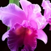 Orquídea Cattleya Blc Amy Wakasugi x (Bc Sta Cruz Luiz Felipe X Lc. Horace Maximo)