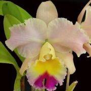 Orquídea Cattleya Blc Goldenzelle Saddle Peak