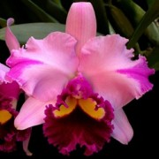 Orquídea Cattleya Blc Portage Glacier Sunset x (Blc Genesis Alpha x C Empress Belle Stephenson)