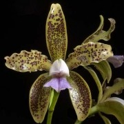 Orquídea Cattleya guttata var coerulea self