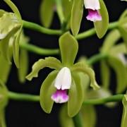 Orquídea Cattleya guttata var semi alba