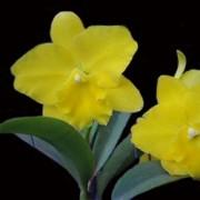 Orquídea Cattleya Laelia purpurata x Blc Bryce Canyon Splendiferou x Blc Gorgeous Gold Pokai