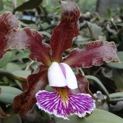 Orquídea Cattleya Schilleriana var rubra