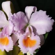 Orquidea Cattleya schroederae popayan