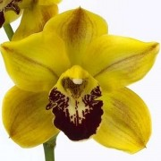 Orquídea Cymbidium Florisun