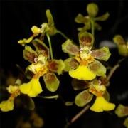 Orquídea Grandiphyllum harrisonianum