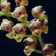 Orquídea Grobya fascifera