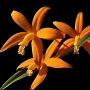 Orquídea Hoffmannseggella kautskyana