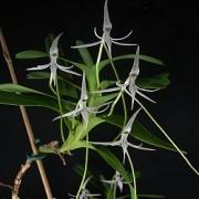 Orquídea Jumellea arborescens