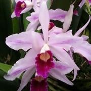 Orquídea Laelia purpurata estriata