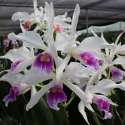 Orquídea Laelia Purpurata Roxo Bispo