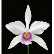 Orquídea Laelia purpurata russeliana