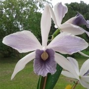 Orquídea Laelia purpurata werkhauseri striata