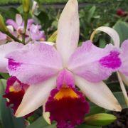 Orquídea Lc Haw Yuan Beauty x Lc Mikkie Nagata