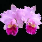 Orquídea Lc Hawaiian Drumbeat