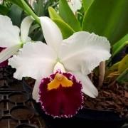 Orquídea Lc Sheila Lauterbach Equilab