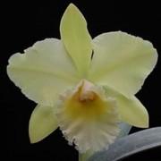 Orquídea Lc Vicky Gold