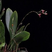 Orquídea Pabstiella hypnicola