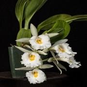 Orquídea Trichopilia hennisiana