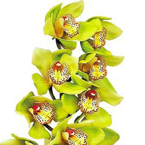 Cymbidium Honey Green Melissa