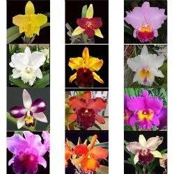 Kit 16 Mudas de Orquídeas Cattleya