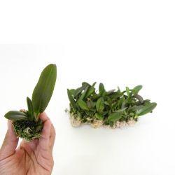 Kit 16 Mudas Orquídeas Cattleya (plug) + Brinde Casca Pinus