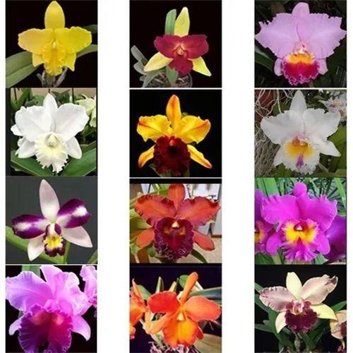 Kit 16 Mudas Orquídeas Cattleya (plug) + Brinde Substrato