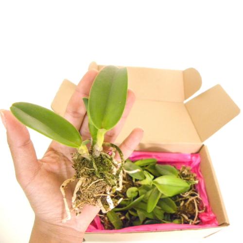 Kit 20 Mudas de Orquídeas Cattleya