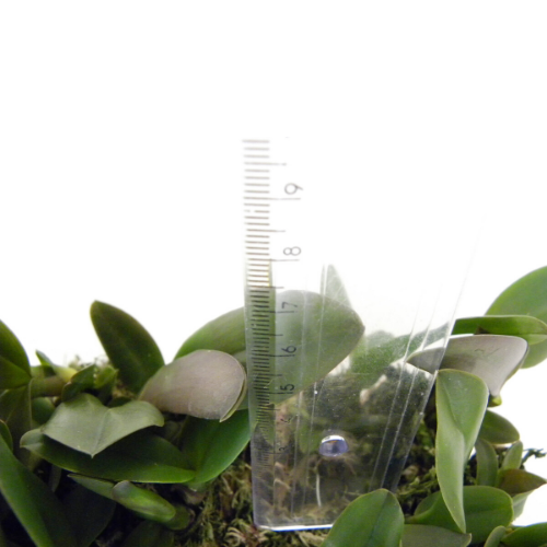Kit 32 Mudas de Orquídeas Cattleya (plug)