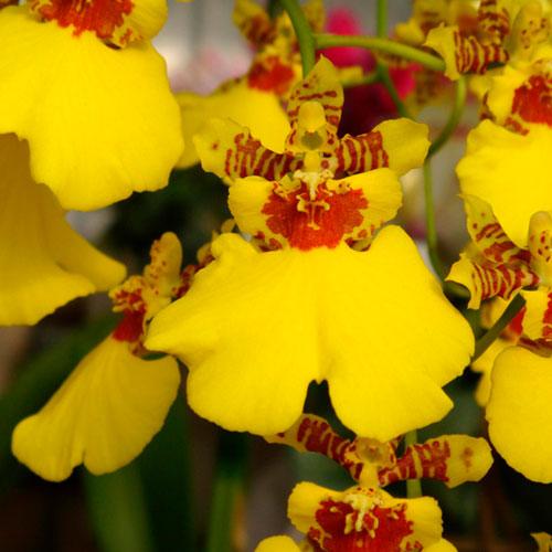 Kit 4 Mudas de Orquídea Oncidium Pré-Adulta
