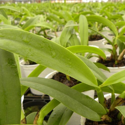 Kit com 4 mudas de Orquídea Cattleya Híbrida - Pré Adulta