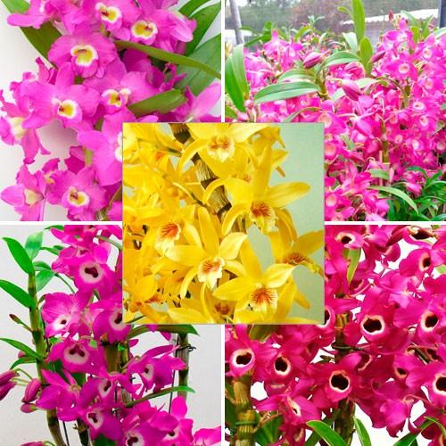 Kit Especial Cultivo Completo – 5 Mudas Orquídeas Dendrobium + Materiais de Cultivo