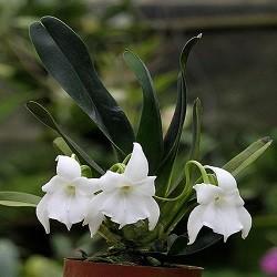 Orquídea Angraecum magdalenae