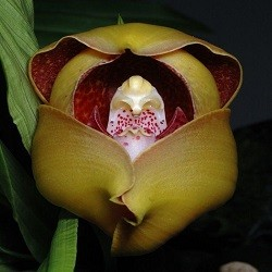 Orquídea Anguloa x ruckeri