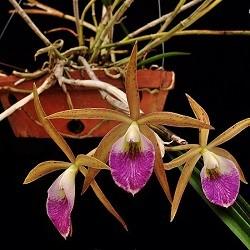 Orquídea Bc Litoralis
