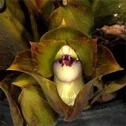 Orquídea Bifrenaria Tetragona
