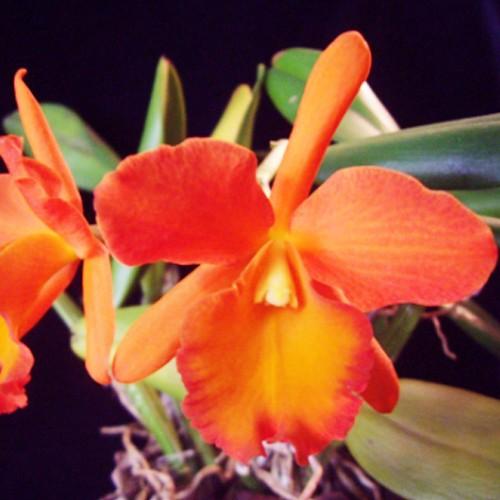 Orquídea (Blc Owen Holmes Ponkan AM/AOS X Blc  Orange Show Cloud Forest) x Blc Gorgeous Gold Poka