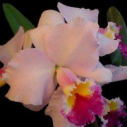 Orquídea Cattleya Blc Erica Porto x (Lc Maria Cristina Miranda x Lc. Log Cabin)