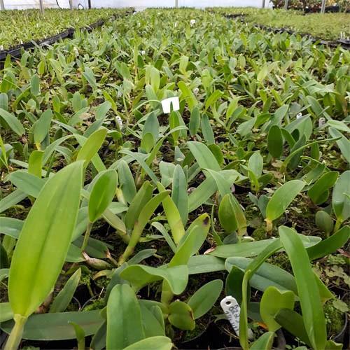 Orquídea Cattleya C Horace Maxima x  Blc Sta Cruz Yuriko Suzuki