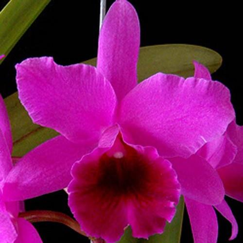 Orquídea Cattleya C. Portia Cannizaro x Lc Molly Tyler