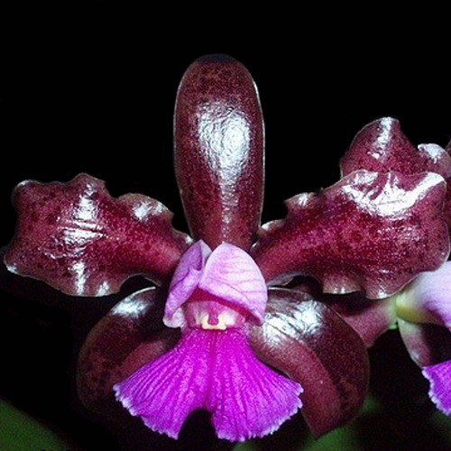 Orquídea Cattleya guttata Dark Princess