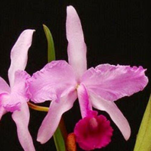 Orquídea Cattleya Lawrenceana