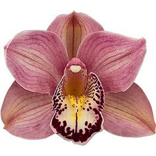 Orquídea Cymbidium Bed Flor