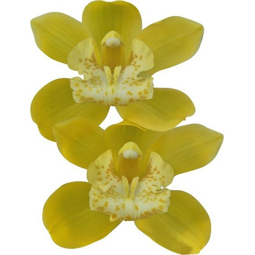 Orquídea Cymbidium Dolly