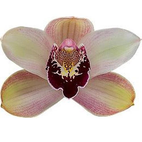 Orquídea Cymbidium Dwarf Pink