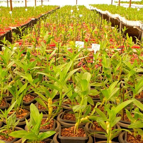 Orquidea Dendrobium Nobile