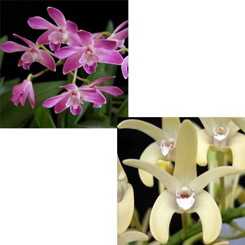 Orquídea Dendrodium (Berry x speciosum)