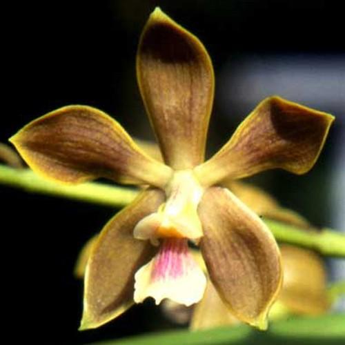 Orquídea Encyclia Odoratissima
